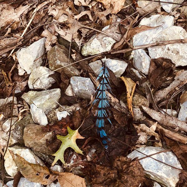 Blue Jay feather thumbnail