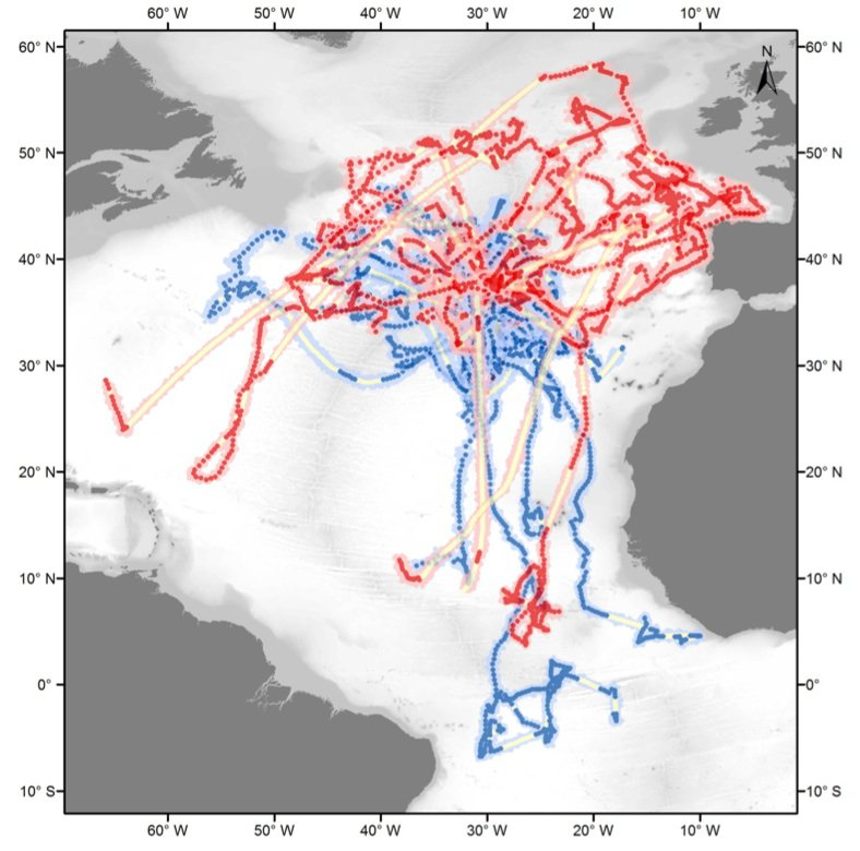 These are routes the tagged blue sharks took over the 952-day study period. Female sharks are red, males are blue, and yellow indicates a momentary disruption of the tracking signal. Photo: Vandeperre et al., PLOS ONE
