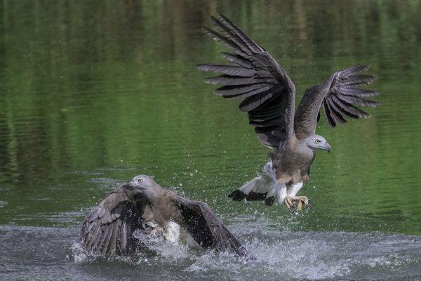 Two Grey Headed Fish Eagle thumbnail