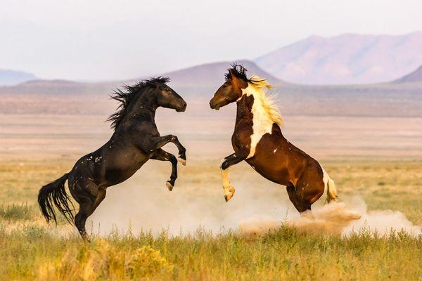 Battling stallions. thumbnail