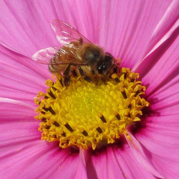 Honeybee  thumbnail
