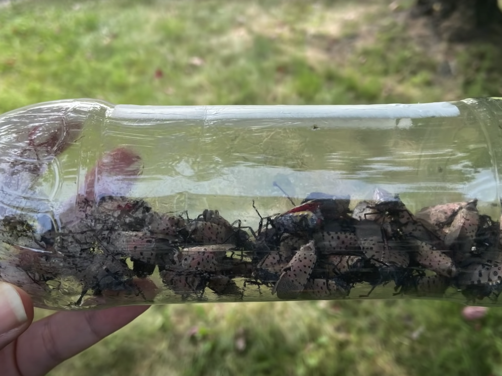 Dozens of spotted lanternflies captured in a plastic water bottle