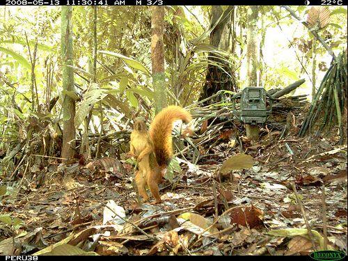 amazon_red_squirrel.jpg
