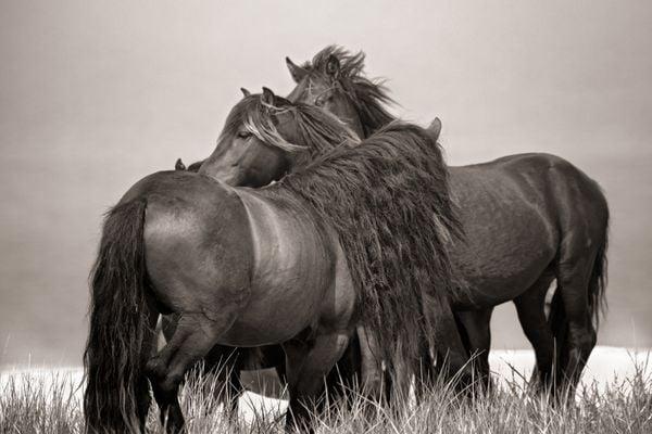 Four Sable Island wild stallions thumbnail