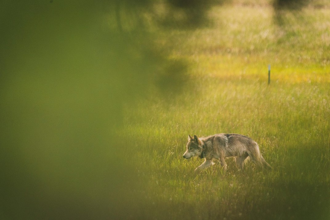 The Wolf That Discovered California