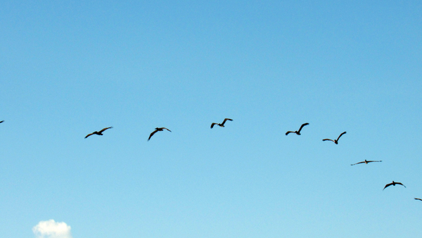 Birds Flying thumbnail