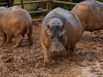 Colombian wildlife officials hope to control a rather large invasive species—the hippo—with contraceptive drugs.