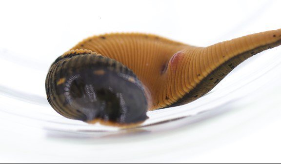 Close up of a brown and orange leech (Macrobdella mimicus) in a clear jar