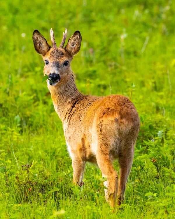 Roe deer eating thumbnail