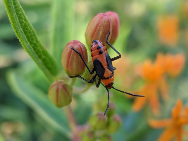 A Milkweed Bug nymph standing amongst flowers. thumbnail