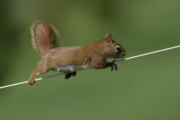 A Squirrel on a rope thumbnail