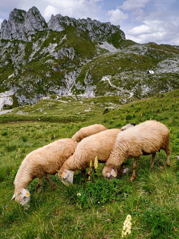 Sheep in the mountains at Log pod Mangartom thumbnail
