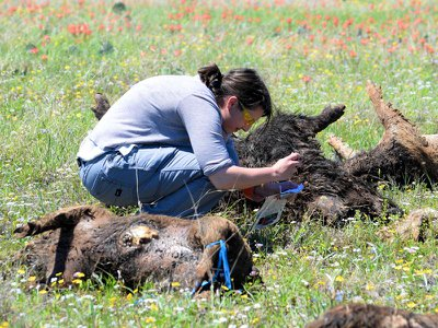 Researchers monitored the decay of feral pig carcasses to understand what happens to ecosystems where many animals have died at once