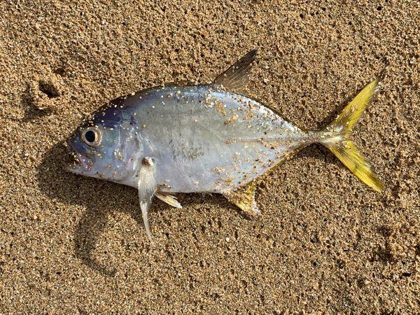 Horse-eye jack, dead on the beach thumbnail
