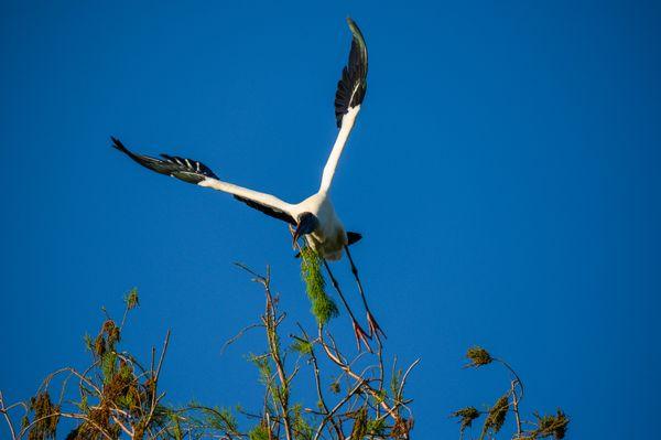 Wood Stork building a nest thumbnail