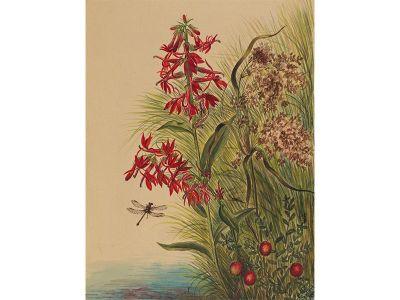 Mary Vaux Walcott, Cardinal Flower, 1880