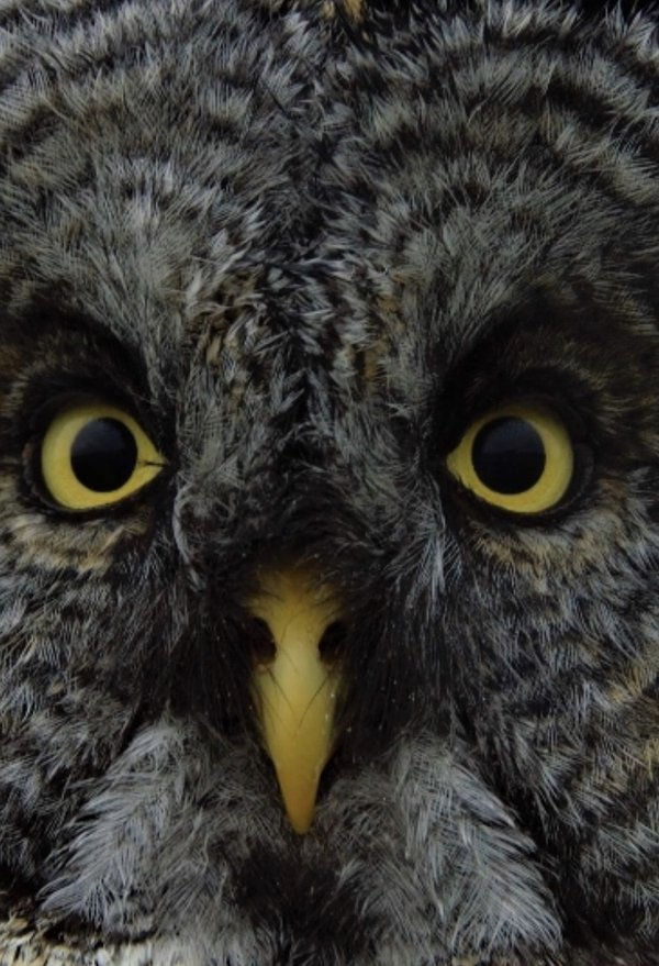 Face of Great Grey Owl thumbnail