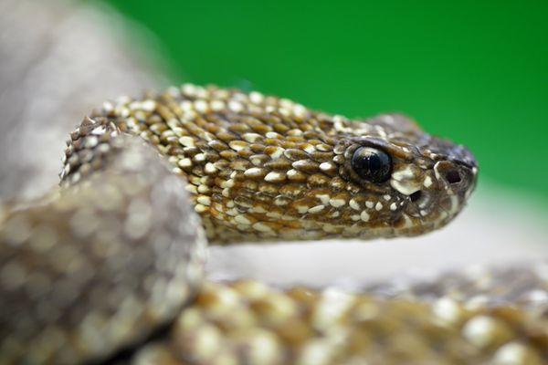 Rattlesnake posture at Vienna Aqua Terra Zoo thumbnail