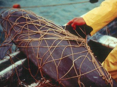 Dead vaquita entangled in a gillnet set for Totoaba