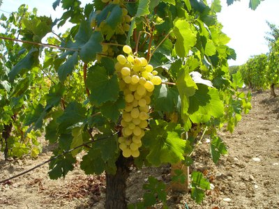 Changing temperatures affect how quickly wine grapes ripen, how sweet they are, and how much acid they have, all of which influences the quality of the end product.