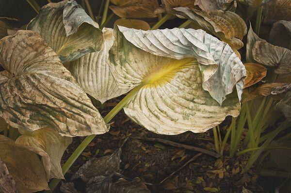 Folded Over Hosta Leaf thumbnail