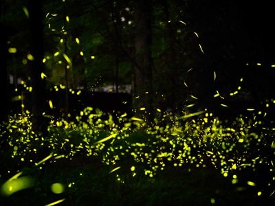 Fireflies in a forest at night in Tennessee.