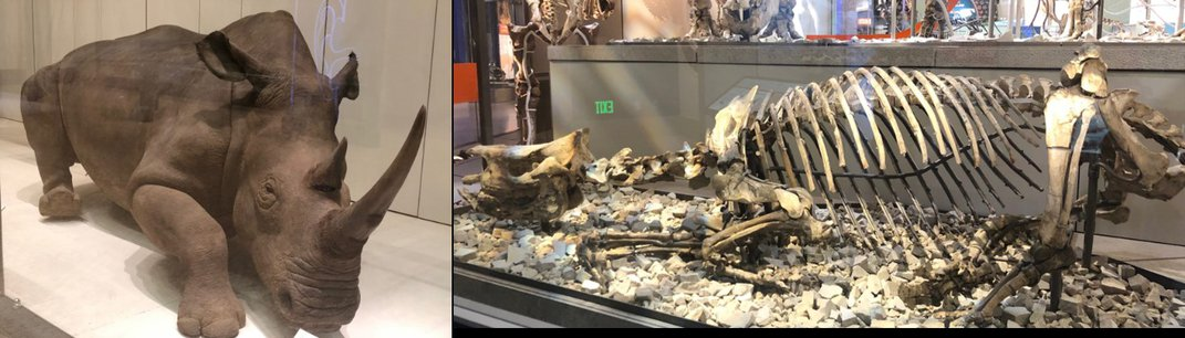 Two photos side-by-side of a modern white rhino and its extinct ancestor at the Smithsonian's National Museum of Natural History