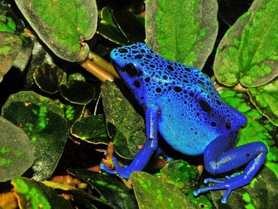 """The biodiversity map predicted that amphibians and reptiles have the most undiscovered species to date. Pictured: blue poison dart frog (Dendrobates tinctorius """"azureus"""")"""