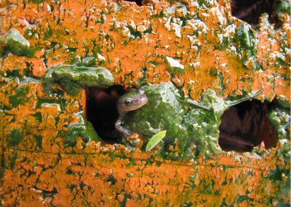 Salamander and green leaf hopper on an algae-covered brick thumbnail