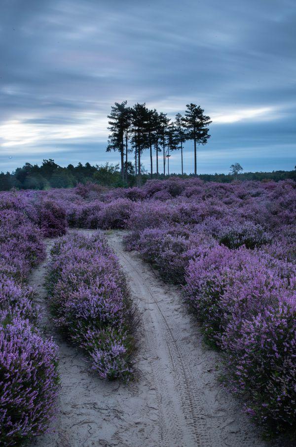 Long exposure heather fields thumbnail