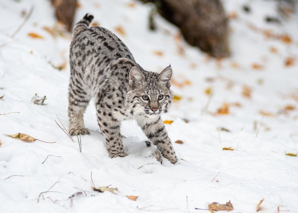 Bobcat kitten stalking a leaf thumbnail