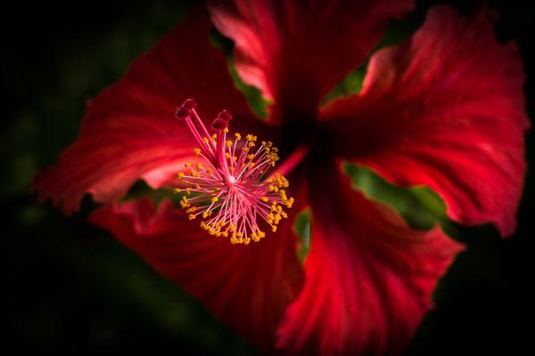 Red hibiscus thumbnail