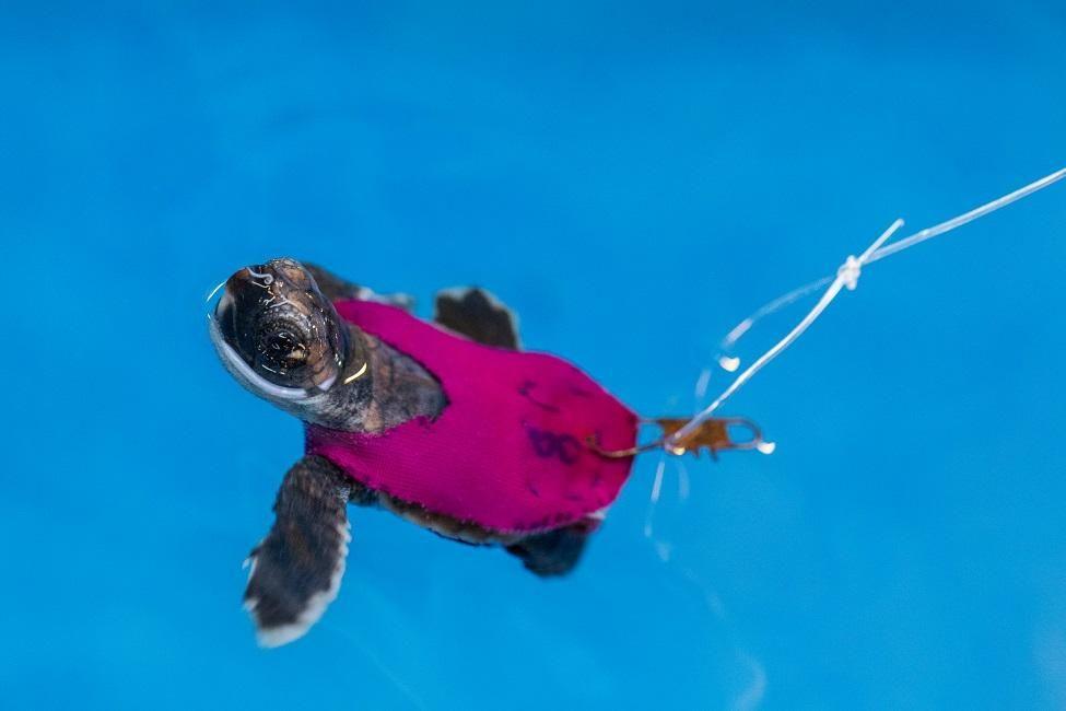 Bathing Suit Turtle