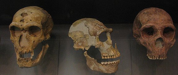 Neanderthal skulls