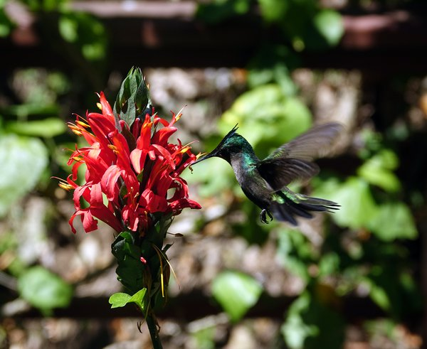 An Antillean Crested Hummingbird Visits a Flower thumbnail