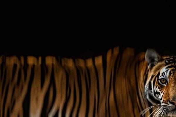 Portrait Of A Tiger thumbnail