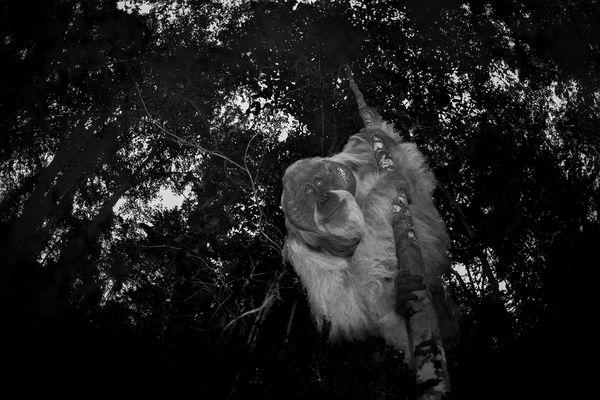 Ape I Borneo thumbnail