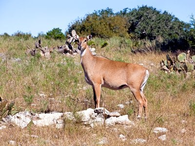Nilgai antelope, like the cattle fever ticks they carry, are considered an invasive species in places like Texas.