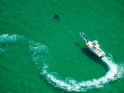 An Atlantic White Shark Conservancy boat and crew work to tag a great white shark in the waters off the shore in Cape Cod, Massachusetts on July 13, 2019.