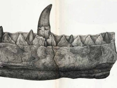 A fragment of the lower jaw of Megalosaurus, the first dinosaur to be scientifically named in 1824. Long before this, though, people puzzled about the nature of dinosaur bones.