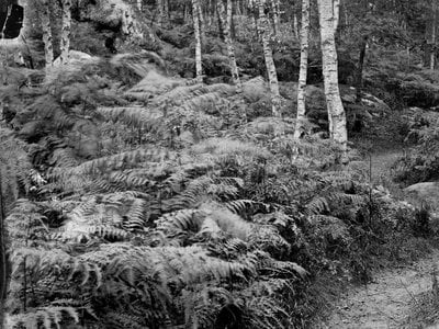 A footpath weaves through ferns and trees on Denecourt Trail No. 6. The designer made sure the paths meandered around interesting features.