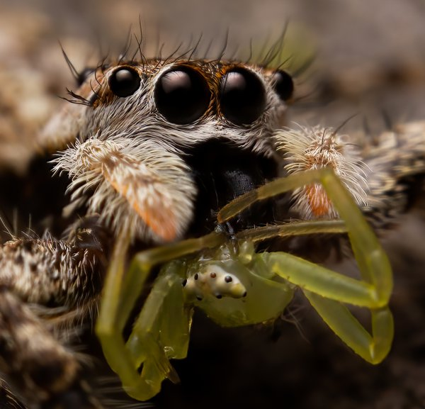 Jumping Spider Snack thumbnail
