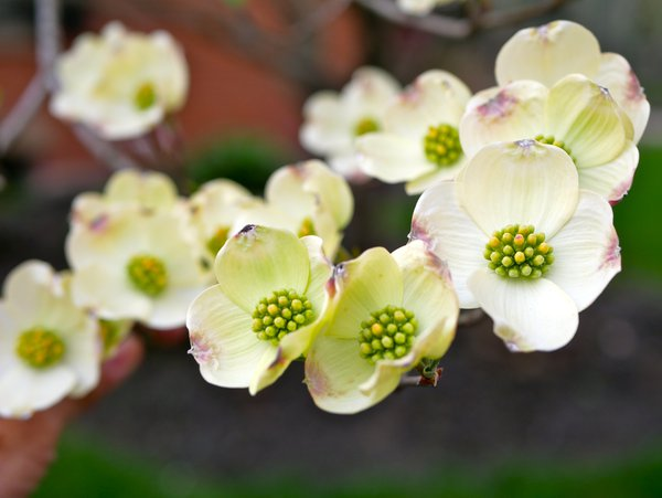 Dogwood in spring thumbnail