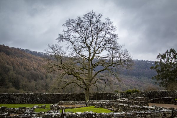 The Tree at Tintern Abbey thumbnail