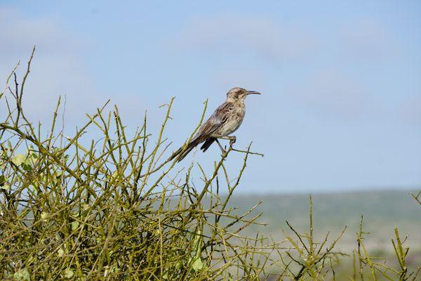 Galapagos Bird thumbnail