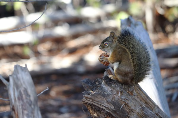 Nutty Squirrel thumbnail