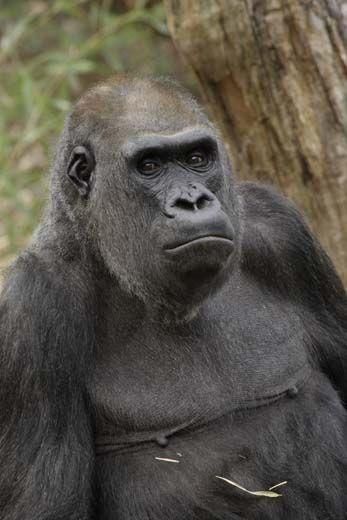 20110520110720Haloko-National-Zoo-Gorilla.jpg