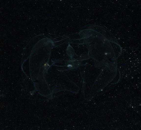 This lobate ctenophore is another bioluminescent creature that lives off the coast of the Americas.