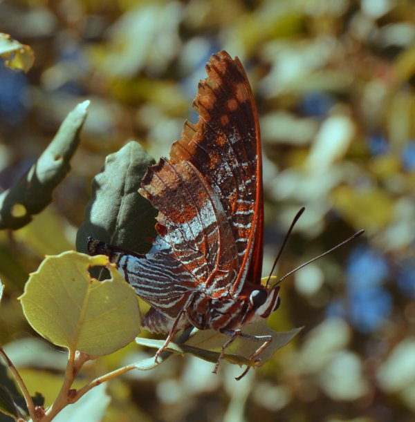 The Brown Butterfly thumbnail