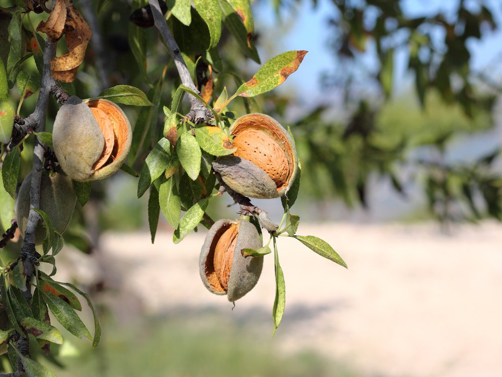 Close up of almonds hanging from the branches of an almond tree